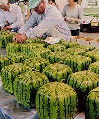 ronde, carrée, pyramidale...la pastèque OGM